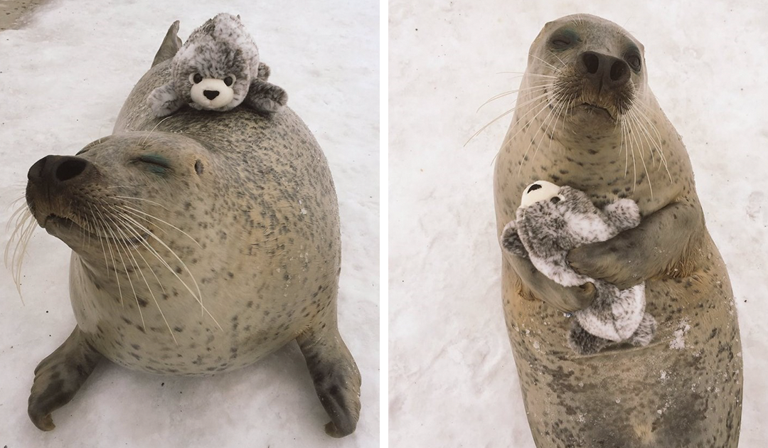 Seal Finds Toy Version Of Itself, Cant Stop Hugging It